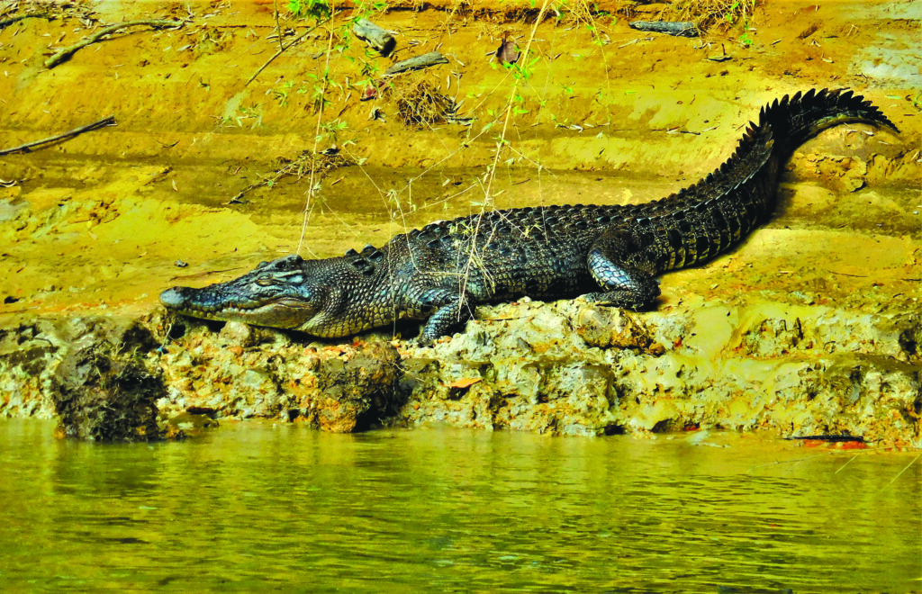 Cocodrilo en el río Daintree