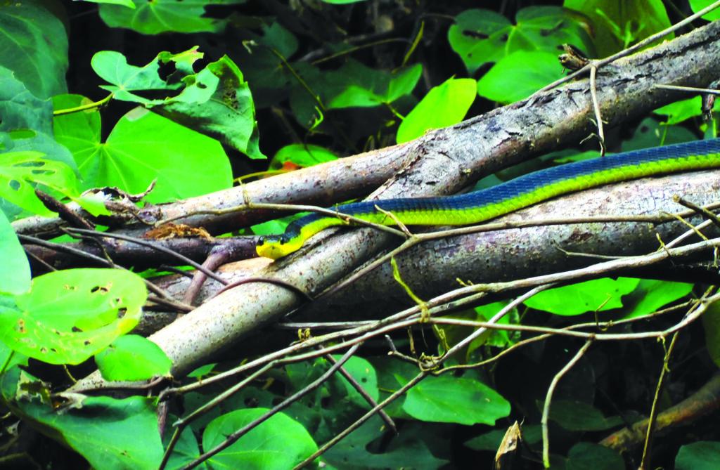 Serpiente del árbol verde en el río Daintree