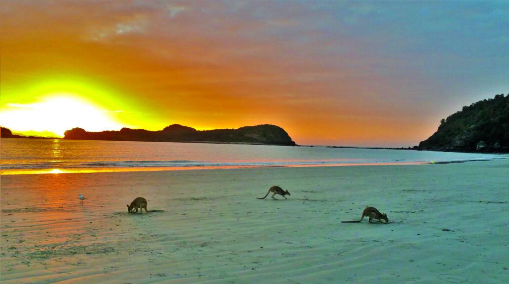 Wallabies en Cabo Hillsborough